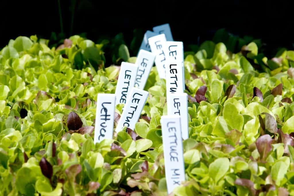 Garden-Center-Lettuce